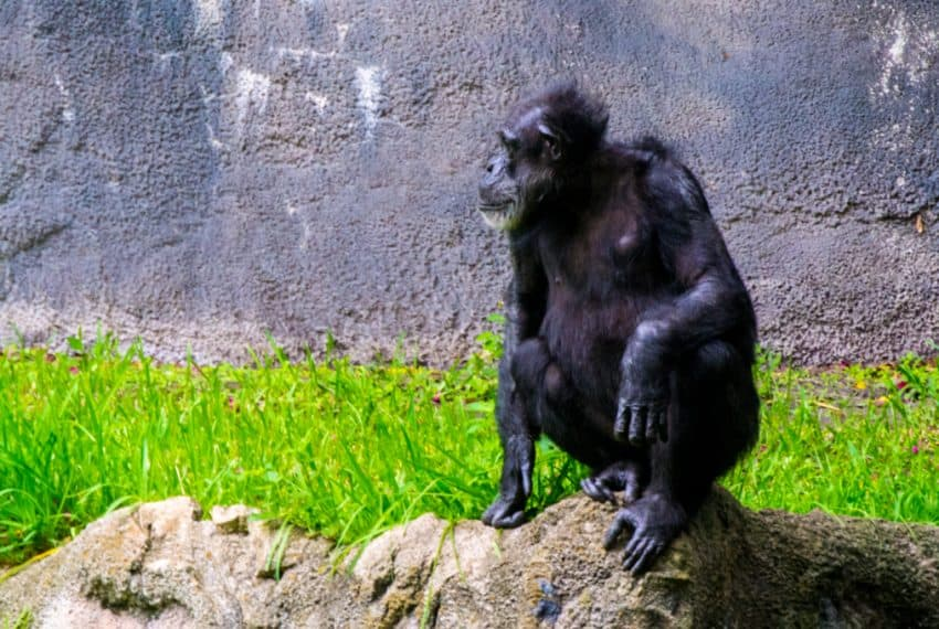 Gorilla_sitting_on_rock_at_Busch_Gardens_Florida_terrenosnaflorida-com_shutterstock_672203512_1200x680